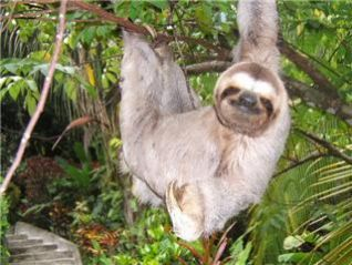 sloth1